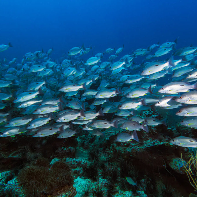 School of Russell's snapper (Lutjanus russellii) fish in the blue sea